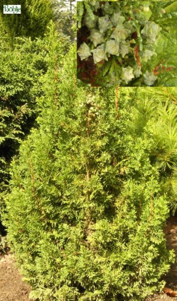Chamaecyparis thyoides 'Top Point' -Scheinzypresse-