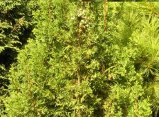 Chamaecyparis thyoides 'Top Point' -Scheinzypresse-