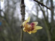 Chimonanthus praecox -Winterblüte-