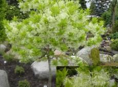 Chionanthus virginicus -Schneeflockenstrauch-