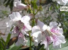 Chitalpa tashkentensis -Baumoleander-