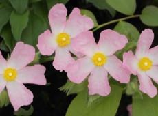 Cistus 'Grayswoods Pink' -Zistrose-