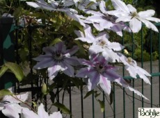 Clematis Hybride 'Dr. Ruppel'