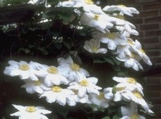 Clematis Hybride 'Madame Le Coultre'