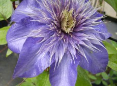 Clematis Hybride 'Multi Blue'