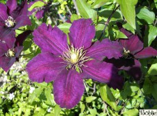 Clematis Hybride 'Rouge Cardinal'
