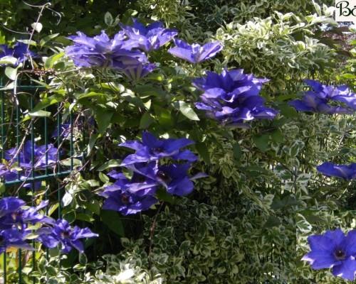Schling- und Kletterpflanzen
