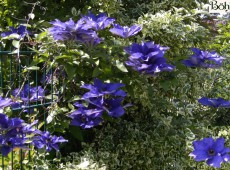 Clematis Hybride 'The President'