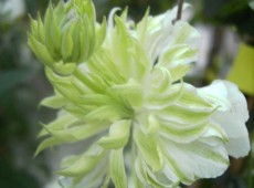 Clematis florida 'Peppermint'