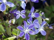 Clematis integrifolia 'Arabella'
