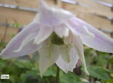 Clematis macropetala 'Rosy O'Grady'