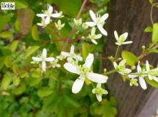 Clematis paniculata -Duftwaldrebe-