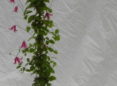 Clematis texensis 'Etoile Rose'