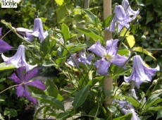 Clematis viticella 'Betty Corning'