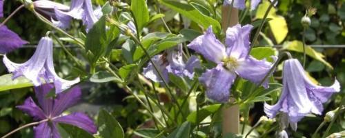 Clematis viticella - Hybriden (italienische Waldrebe)