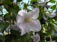 Clematis viticella 'Entel'