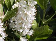 Clethra alnifolia -Scheineller-