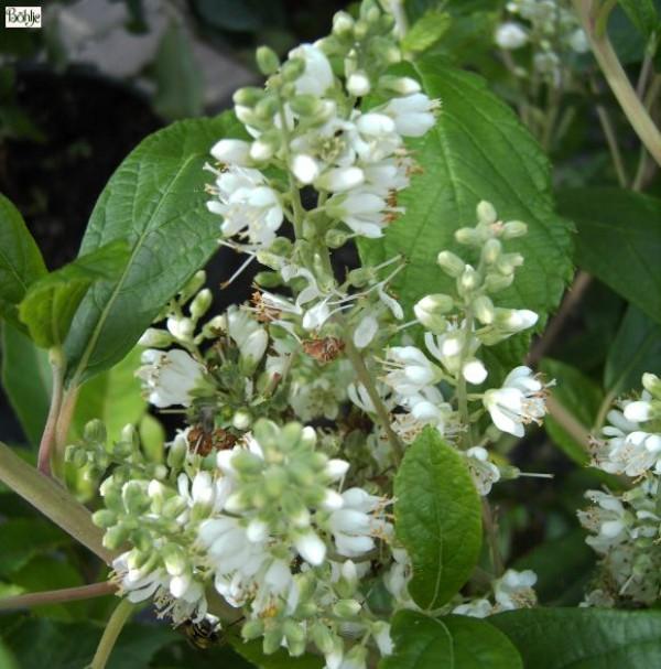 Clethra alnifolia 'Anne Bidwell' -Silberkerzenstrauch-