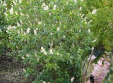 Clethra alnifolia 'Pink Spire' -Scheineller-