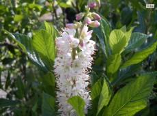 Clethra alnifolia 'Rosea'  -Scheineller-