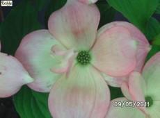 Cornus 'Rutgan' ('Stellar - Pink' ®)