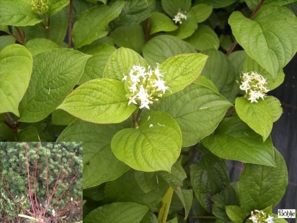Cornus alba 'Sibirica' -Purpurhartriegel-