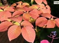 Cornus alternifolia -wechselblättriger Etagenhartriegel-