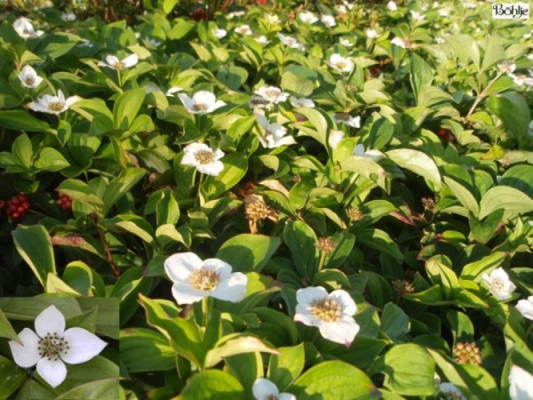 Cornus canadensis -Teppichhartriegel-
