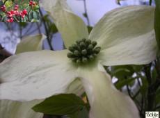 Cornus florida -ostamerikanischer Blumenhartriegel-