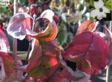 Cornus florida 'Rainbow'  -ostamerikanischer Blumenhartriegel-