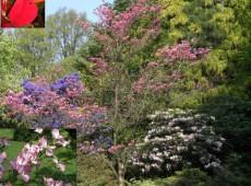 Cornus florida 'Rubra' -roter Blumenhartriegel-