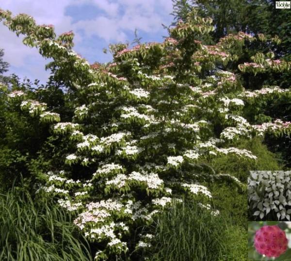 Cornus kousa -Blumenhartriegel-