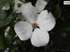 Cornus kousa 'Venus' -R- -japanischer Blumenhartriegel-