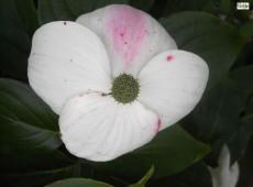 Cornus kousa chinensis 'Kreuzdame' -chinesischer Blumenhartriegel-