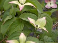 Cornus kousa chinensis 'Satomi' ® -chinesischer Blumenhartriegel-