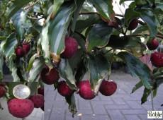 Cornus kousa chinensis -chinesischer Blumenhartriegel-