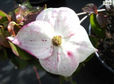 Cornus kousa chinensis 'Typ Böhlje' -chinesischer Blumenhartriegel-