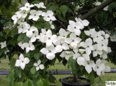 Cornus kousa chinensis 'Typ Helmers' -chinesischer Blumenhartriegel-