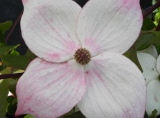 Cornus kousa chinensis 'Wieting's Select' -chinesischer Blumenhartriegel-