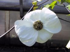 Cornus nuttallii 'Ascona' -pazifischer Blumenhartriegel-