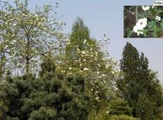 Cornus nuttallii -amerikanischer Blumenhartriegel-
