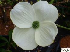 Cornus 'Eddie's White Wonder' -amerikanischer Blumenhartriegel-
