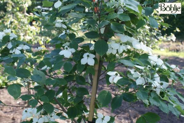 Cornus kousa chinensis 'Schmetterling' -chinesischer Blumenhartriegel-