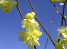 Corylopsis pauciflora -Scheinhasel-