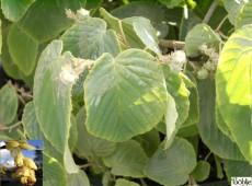 Corylopsis spicata -Scheinhasel-