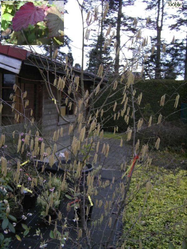 Corylus avellana -Haselnuss / Waldhasel-