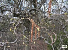 Corylus avellana 'Contorta' -Korkenzieherhasel-