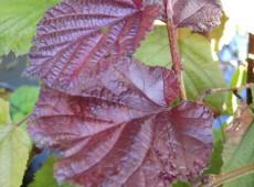 Corylus maxima 'Purpurea' -Bluthasel-