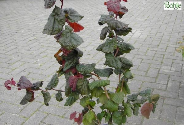 Corylus maxima 'Red Majestic'  -S-  -rotblättrige Korkenzieherhasel-