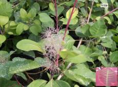 Cotinus coggygria  -Perückenstrauch-